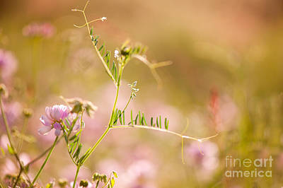 Tendrils Photograph - tendrils of Vicia or Vetch and pink Clover  by Arletta Cwalina