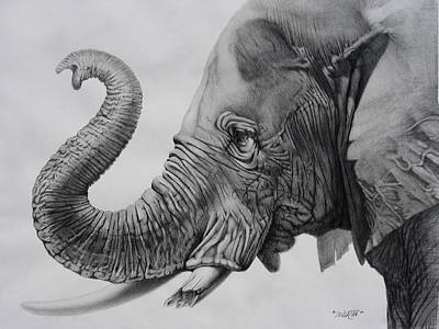 Elephant Pencil Drawing Drawing - Veteran by Tim Dangaran