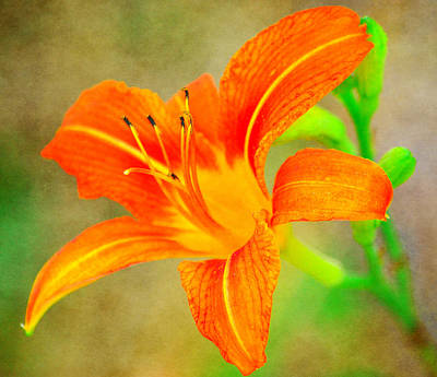 Photograph - Vibrant Daylily by Deena Stoddard