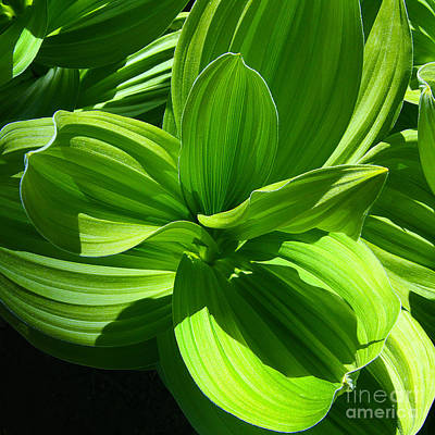 Photograph - Vibrant Green Corn Lilies In Colorado Mountain Meadow During Springtime  by Jerry Cowart