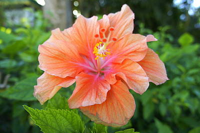 Photograph - Vibrant Hibiscus by Laurie Perry