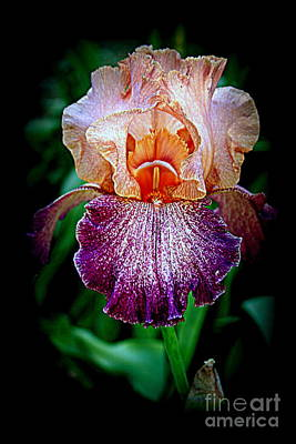 Photograph - Vibrant Iris Flower by Kay Novy