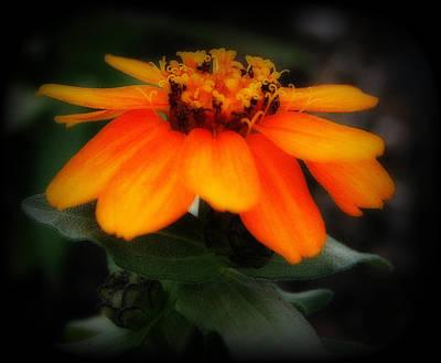 Photograph - Vibrant Little Zinnia by Kay Novy