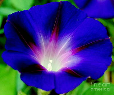 Photograph - Vibrant Morning Glory by Eunice Miller
