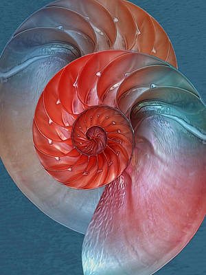 Photograph - Vibrant Nautilus Pair by Gill Billington
