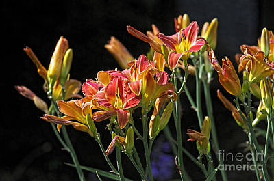 Photograph - Vibrant Orange Daylilies by Sharon Talson