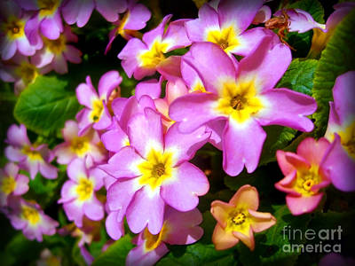 Photograph - Vibrant Pink Primroses by Nina Ficur Feenan