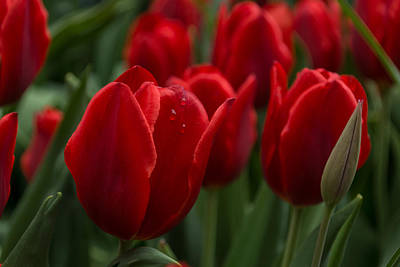Photograph - Vibrant Red Spring Tulips by Georgia Mizuleva