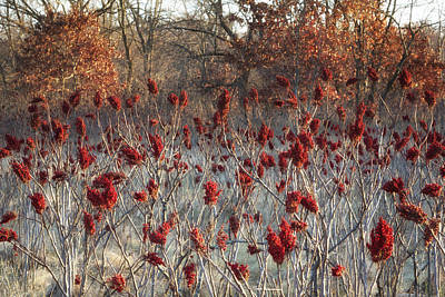 Sumac Flower Photograph - Vibrant Red Sumac Ready For Winter by Ken Wolter