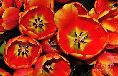 Tulip Art Photograph - Vibrant Red Tulips From Above by Kaye Menner