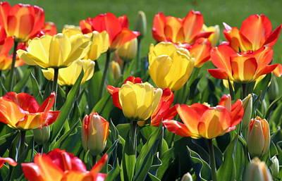 Tulips Photograph - Vibrant Spring Tulips by Rosanne Jordan