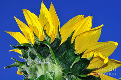 Vibrant Sunflower In The Sky Art Print by Kaye Menner