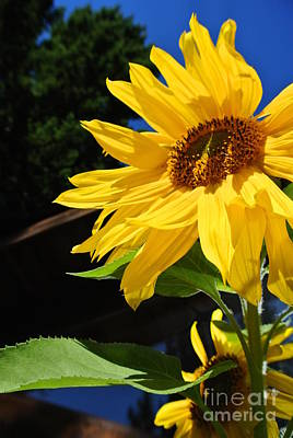 Photograph - Vibrant Sunflowers by Sharron Cuthbertson