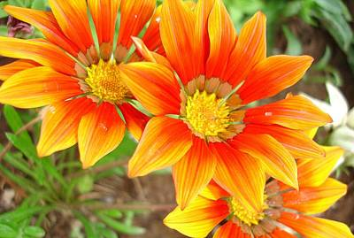 Photograph - Vibrant Yellow And Vermillion Gazania Rigens Flower by Tracey Harrington-Simpson
