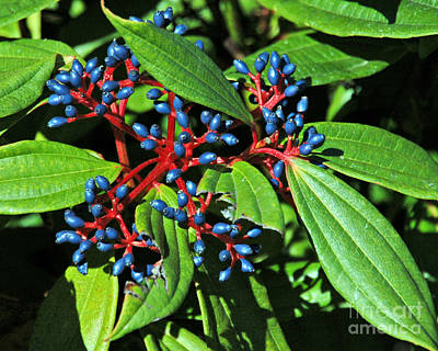 Photograph - Viburnum In The Fall by Chuck Flewelling