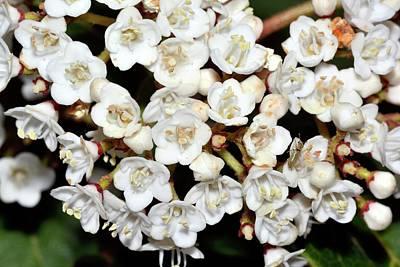 Viburnum Photograph - Viburnum Tinus Flowers by Bruno Petriglia