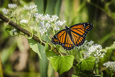 Photograph - Viceroy Butterfly by Bradley Clay
