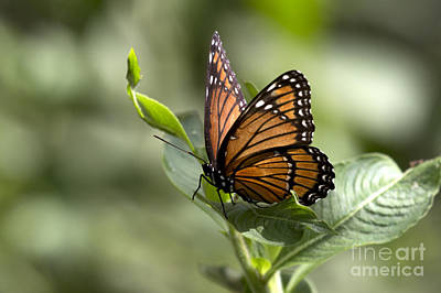 Photograph - Viceroy Butterfly by Meg Rousher