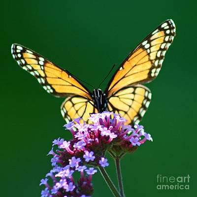 Viceroy Butterfly Square Art Print by Karen Adams