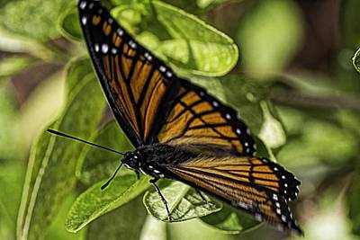Photograph - Viceroy In The Garden by Barry Jones