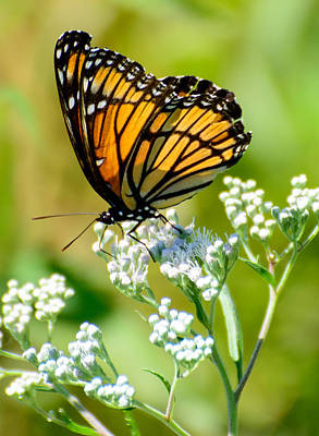 Photograph - Viceroy by Linda Shannon Morgan