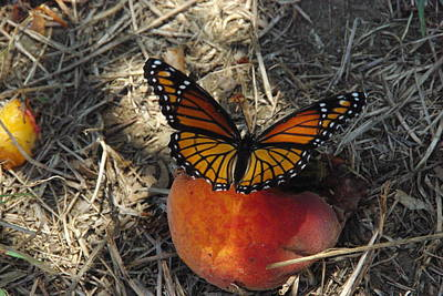 Photograph - Viceroy On Peach by Robyn Stacey