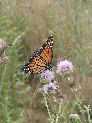 Viceroy On Thistle Art Print by Robert Nickologianis