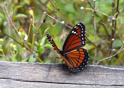 Photograph - Viceroy by Peggy King