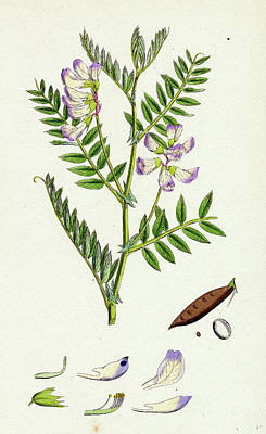 Vicia Orobus Wood Bitter Vetch Art Print