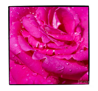 Viciously Hot Pink Rose Original