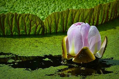Photograph - Victoria Amazonica Lily by Nadalyn Larsen