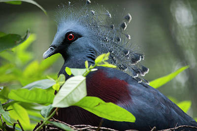 Papua New Guinea Photograph - Victoria Crowed-pigeon (goura Victoria by Cindy Miller Hopkins