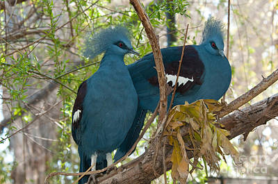 Indonesian Wildlife Photograph - Victoria Crowned Pigeons by Mark Newman
