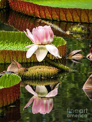 Flowers Photograph - Victoria Cruziana Waterlily by Zina Stromberg