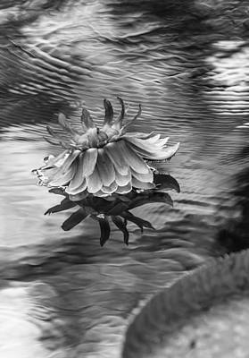 Victoria Regia Blossom. Royal Botanical Garden In Mauritius. Black And White Print by Jenny Rainbow