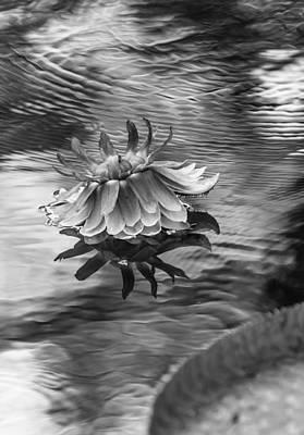 Victoria Regia Blossom. Royal Botanical Garden In Mauritius. Black And White Art Print