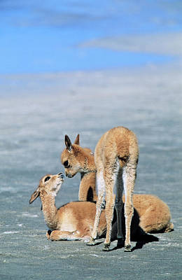 Baby Wool Photograph - Vicuna (vicugna Vicugna by Martin Zwick