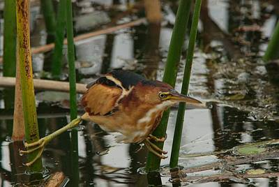 Exillis Photograph - Viera Wetlands Least Bittern by Art Spearing