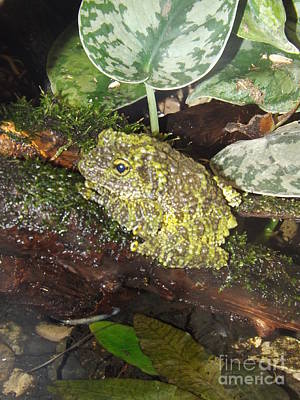 Vietnamese Mossy Frog Print by Sara  Raber