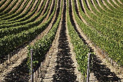 Italian Wine Photograph - View Down The Row Of Vines by Alexander Macfarlane