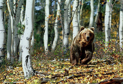 Colorado Wildlife Wall Art - Photograph - View Of A Brown Bear Moving Through Forest by William Ervin/science Photo Library