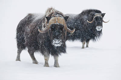 View Of A Pair Of Muskoxen Bulls Art Print by Doug Lindstrand