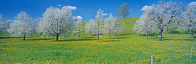 Zug Photograph - View Of Blossoms On Cherry Trees, Zug by Panoramic Images