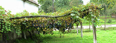 Romania Photograph - View Of Grape Vines By House, Bradu by Panoramic Images