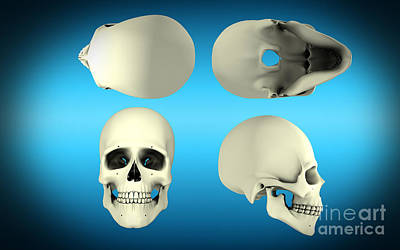View Of Human Skull From Different Art Print by Stocktrek Images