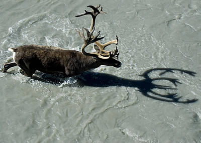 Alaska Photograph - View Overlooking A Bull Caribou As It by Cathy Hart