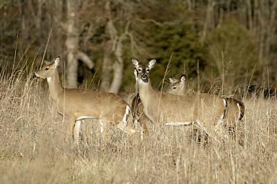 Vigilant White-tailed Deer Art Print