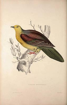 Vinago Sphenura, Wedge-tailed Green-pigeon. Birds Art Print