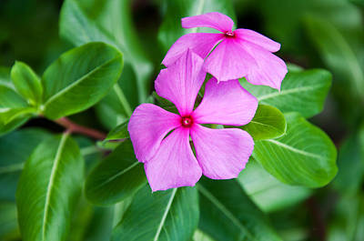 Photograph - Vinca For Two by Donna Proctor