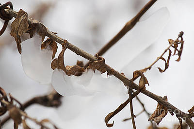 Photograph - Vine And Ice by JT Lewis